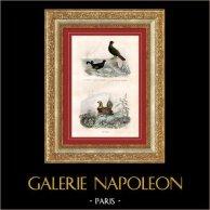 Buffon - Pájaros - Gallo lira - Ganga - Urogallo | Original acero grabado dibujado por Edouard Traviès, grabado por Manceau. Coloreado a mano de epoca. 1835