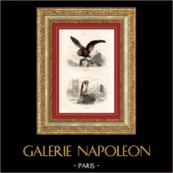 Buffon - Oiseaux - La Chouette - L'Effraie