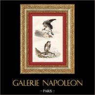 Buffon - Pájaros - Aves de rapiña - Aguila pescadora - Águila culebrera
