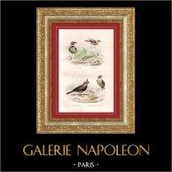 Buffon - Oiseaux - Calandre - Cochevis - Alouettes - Alouette des marais