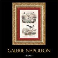 Buffon - Uccelli - Ucelli marini - Sula bassana - gabbiano dorsoardesia | Incisione su acciaio originale disegnata da Edouard Traviès, incisa da Fournier. Colorata a mano d'epoca. 1835