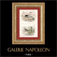 Buffon - Pájaros acuáticos - Ibis blanco americano - Zarapito real | Original acero grabado dibujado por Edouard Traviès, grabado por Pardinel. Coloreado a mano de epoca. 1835