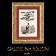 Buffon - Oiseaux - Rapaces - Vautours - Vautour fauve - Vautour royal | Gravure sur acier originale dessinée par Edouard Traviès, gravée par Fournier. Colorée à la main (coloris d'époque). 1835