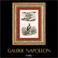 Buffon - Birds - Birds of prey - Vultures - Griffin Vulture - Red-headed Vulture