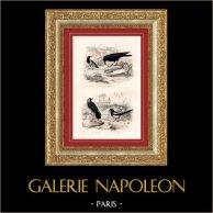Buffon - Oiseaux - Corbeau - Choucas - Pie bavarde | Gravure sur acier originale dessinée par Edouard Traviès, gravée par Annedouche. Colorée à la main (coloris d'époque). 1835
