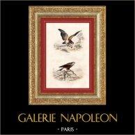 Buffon - Pássaros - Aves de rapina - Águia de asa redonda - Milhafre real