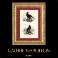 Buffon - Oiseaux - Rapaces - Aigles