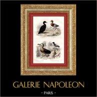 Buffon - Oiseaux - Oiseaux de mer - La Macreuse noire - La Sarcelle - L'Albatros - Le Pétrel