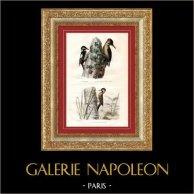 Buffon - Oiseaux - L'Epeiche - Le Pic vert - Pic rayé de Cayenne   Gravure sur acier originale dessinée par Edouard Traviès, gravée par Pardinel. Colorée à la main (coloris d'époque). 1835
