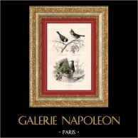 Buffon - Pájaros -Passeriformes -  Páridos - Agateador | Original acero grabado dibujado por Edouard Traviès, grabado por Oudet. Coloreado a mano de epoca. 1835
