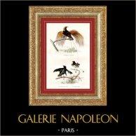 Buffon - Uccelli - Uccelli del paradiso - Manucodia dal mantello rilucente | Incisione su acciaio originale disegnata da Edouard Traviès, incisa da Pardinel. Colorata a mano d'epoca. 1835