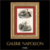 Buffon - Pássaros - Garça branca pequena - Garça vermelha - Ardeola ralloides | Gravura em metal aço original desenhada por Edouard Traviès, gravada por Pardinel. Colorida à mão (colorido de época). 1835