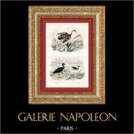 Buffon - Uccelli - Eurypyga helias - Pollo sultano viola - Gallinella d'acqua
