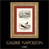 Buffon - Fåglar - Kärrsnäppa - Svartsnäppa - Glareola nordmanni - Schoeniclos | Original stålstick efter teckningar av Edouard Traviès, graverade av Pardinel. Original handkolorerad. 1835