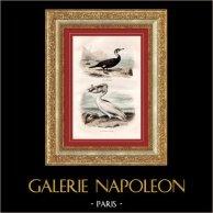 Buffon - Uccelli - Cormorano - Pellicano bianco   Incisione su acciaio originale disegnata da Edouard Traviès, incisa da Pardinel. Colorata a mano d'epoca. 1835