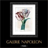 Grafika Botaniczna - Botanika - Kwiaty - Tulipan