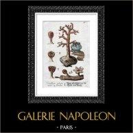 Botanical Print - Botany - Flowers - Coralium Rubrum - Cortice et Floribus (Elisabeth Blackwell)