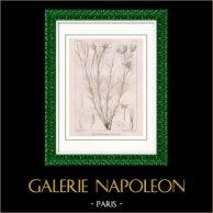 Gravure Botanique - Epilobium Speciosum Dne (Victor Jacquemont)
