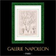 Gravure Botanique - Ribes alpestre Royl (Victor Jacquemont)