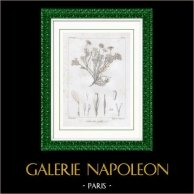 Gravure Botanique - Allardia glabra (Victor Jacquemont)