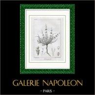 Gravure Botanique - Salvia pumila (Victor Jacquemont)