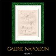 Grabado Botánico - Botánica - Anquetilea Laureola (Victor Jacquemont)