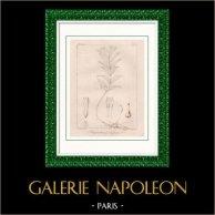 Botanical Print - Botany - Polygonatum geminiflorum (Victor Jacquemont)