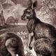 DETAILS 02   Mammals - Eastern Grey Kangaroo - Macropus giganteus