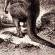DETAILS 03   Mammals - Eastern Grey Kangaroo - Macropus giganteus