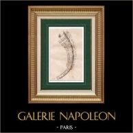 Cuernos de Oro de Gallehus - Cuerno que debe beberse - Tunderense | Original acero grabado grabado por Bigant. 1838