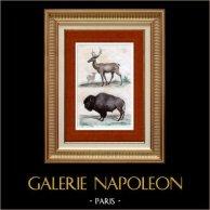 Uapití - Wapití - Bisonte - Búfalo (Estados Unidos de América) | Original acero grabado grabado por Chaillot. Agua-coloreado a mano. 1837