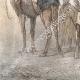 DÉTAILS 03 | Chameaux et Dromadaires sellés pour le transport des voyageurs (Egypte)
