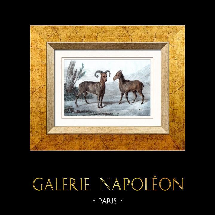 Gravures Anciennes & Dessins | Mouflon en Sardaigne (Italie) | Taille-douce | 1847