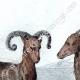 DÉTAILS 02 | Mouflon en Sardaigne (Italie)