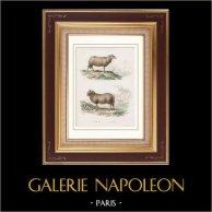 Animaux - Mouton - Bélier - Bovidés - Herbivores | Gravure sur acier originale dessinée par Travies. Aquarellée à la main (coloris d'époque). 1835