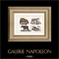 Giaguaro - Coguaro - Puma - Tapiro | Incisione su acciaio originale disegnata da Danvin. Acquerellata a mano. 1840