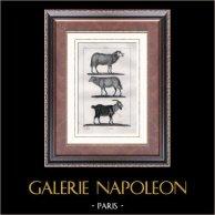 Mouton - Bélier - Brebis - Chèvre - Capra aegagrus - Bouc - Bovidés - Mammifères | Gravure sur acier originale dessinée par Prêtre, gravée par Coignet. 1830