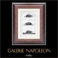 Talpe - Tucan - Talpidae - Mammiferi  - Insettivori | Incisione su acciaio originale disegnata da Prêtre, incisa da Massard. 1830