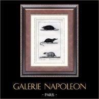 Talpe - Talpidae - Mammiferi  - Insettivori | Incisione su acciaio originale disegnata da Prêtre, incisa da Massard. 1830