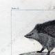 DETTAGLI 01   Riccio - Tenrec - Tendrac - Tenrecidae - Mammiferi  - Insettivori