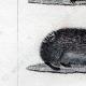DETTAGLI 02   Riccio - Tenrec - Tendrac - Tenrecidae - Mammiferi  - Insettivori