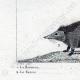 DETTAGLI 03   Riccio - Tenrec - Tendrac - Tenrecidae - Mammiferi  - Insettivori