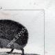 DETTAGLI 04   Riccio - Tenrec - Tendrac - Tenrecidae - Mammiferi  - Insettivori