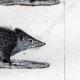 DETTAGLI 05   Riccio - Tenrec - Tendrac - Tenrecidae - Mammiferi  - Insettivori