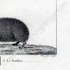 DETTAGLI 06   Riccio - Tenrec - Tendrac - Tenrecidae - Mammiferi  - Insettivori