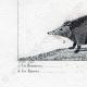 DETTAGLI 07   Riccio - Tenrec - Tendrac - Tenrecidae - Mammiferi  - Insettivori