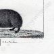 DETTAGLI 08   Riccio - Tenrec - Tendrac - Tenrecidae - Mammiferi  - Insettivori