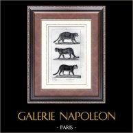 Giaguaro - Coguaro - Puma - Felidi - Mammiferi  - Carnivori | Incisione su acciaio originale disegnata da Prêtre, incisa da Ruhierre. 1830
