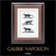 Sarigue - Opossum - Marmose - Mammifères - Marsupiaux - Carnivores | Gravure sur acier originale dessinée par Prêtre, gravée par Plée fils. 1830