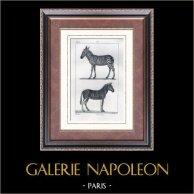 Pferdezebra - Steppenzebra - Equus quagga - Säugetiere - Pferde - Einhufer